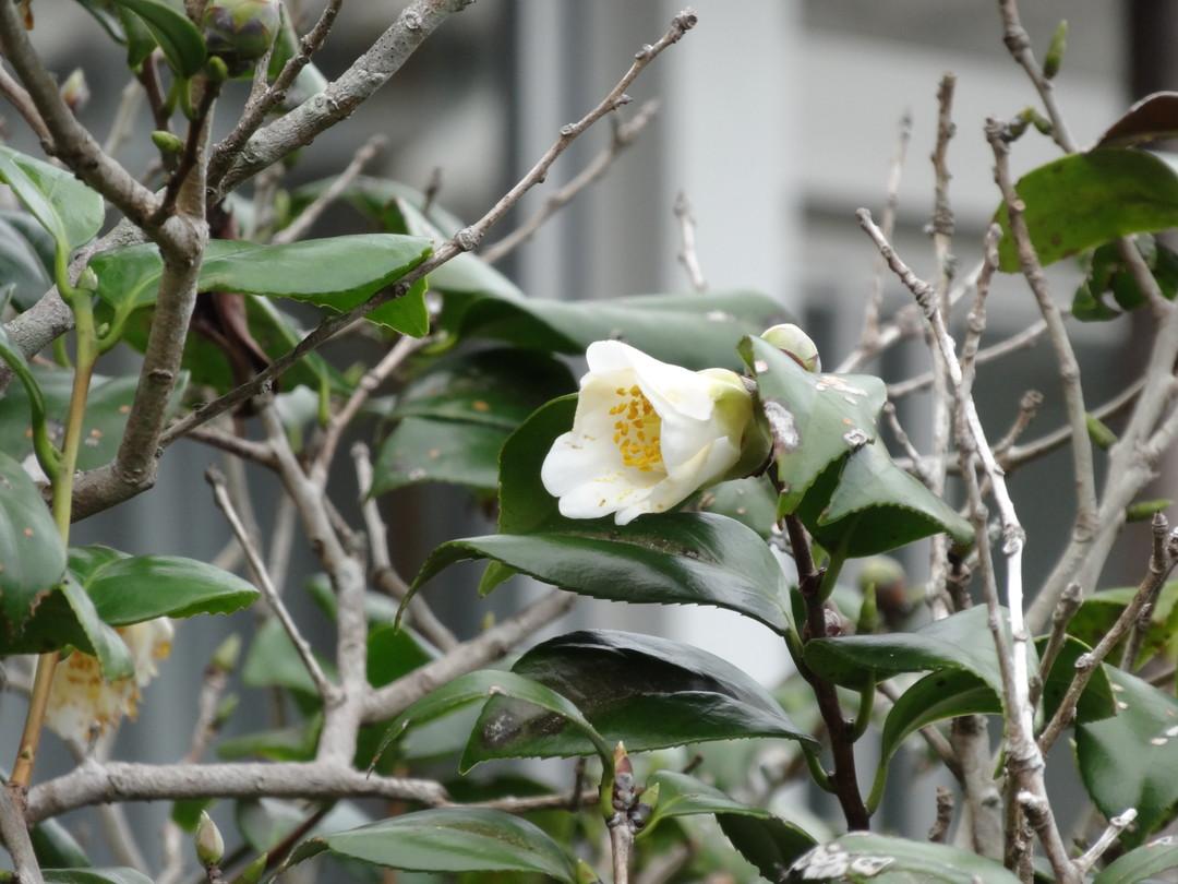 琉球王国歴史に登場する「越来の白椿」が見頃です。