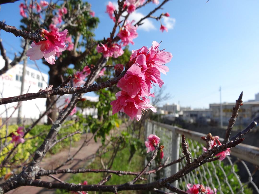 桜開花!2020年は桜が1月下旬に見頃を迎えそうです。