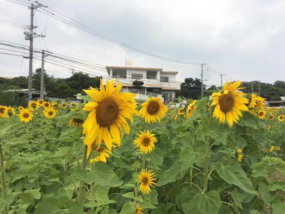 【緊急投稿】北中城村のひまわりが満開間近!