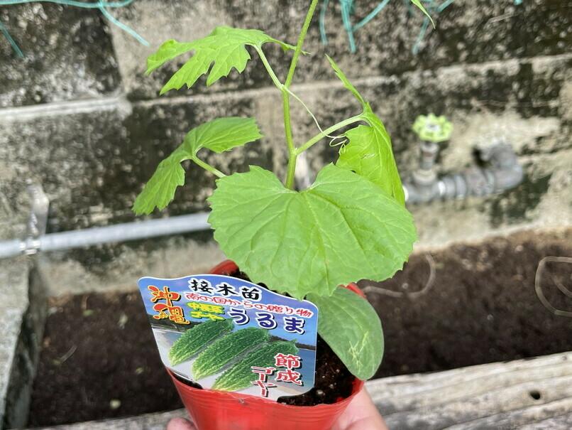 ゴーヤーの苗を植えました。